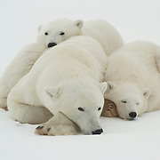 Polar Bear mother and her two cubs resting at Cape Churchill on the shores Hudson Bay, near Churchill, Manitoba, Canada.