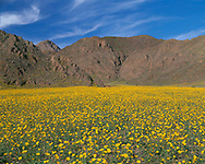 CADDV_054 - USA, California, Death Valley National Park, Field of desert sunflower (Geraea canescens) blooms beneath the Black Mountains.