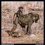 Baby on the Back of Momma<br /> Samburu National Reserve, Kenya<br /> September 2012