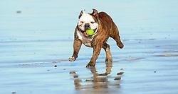 SOUTH AFRICA - Cape Town - 04 June 2020 - English Bulldog having fun on Strand beach. Picture:Brendan Magaar/African News Agency (ANA)