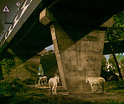 On the edge of the city, horses are kept under highway bridges at night while their owner sleeps nearby. The horses are used to pull horse carriage for tourists during the day.