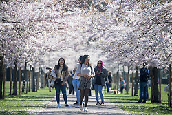 © Licensed to London News Pictures. 29/03/2021. London, UK. Members of the public relax underneath a corridor of Cherry Blossom in Battersea Park, south London, on the day that some lockdown restrictions are eased. Photo credit: Ben Cawthra/LNP