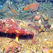 Shortnose Batfish inhabit sand, rubble, mud and rocky bottoms in Tropical West Atlantic; picture taken St. Vincent.