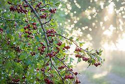 Wild hawthorn berries growing in a hedgerow early on a misty autumn morning. Crataegus monogyna - Common hawthorn, Maythorn, Motherdie, Quickthorn, Hedgerow thorn
