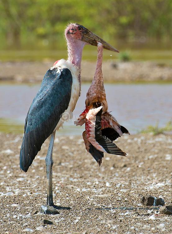 Marabou stork  (Leptoptilos crumeniferus) feeding on a dead flamingo at Lake Bogoria, Kenya.
