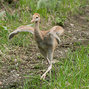 Sandhill Crane (Grus canadensis) chick running with its wings out. Yellowstone National Park