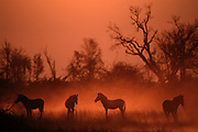 Burchell's Zebra in Sunset<br />Equus burchellii<br />Okavango Delta, BOTSWANA,   Africa