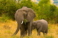 African Elephants (adult and baby), Serengeti National Park, Tanzania