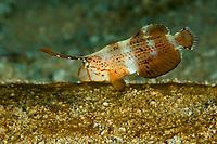 Razorfish (Xyrichtys pavo) juvenile<br /><br />Coiba Island<br />Coiba National Park, Panama<br />Tropical Eastern Pacific Ocean<br /><br />Don Juan Dive Site
