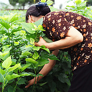 A woman picks mulberry leaves to feed silkworms in Chi Dong village, Hanoi, Vietnam. With Vietnam's growing population making less land available for farmers to work, families unable to sustain themselves are turning to the creation of various products in rural areas.  These 'craft' villages specialise in a single product or activity, anything from palm leaf hats to incense sticks, or from noodle making to snake-catching. Some of these 'craft' villages date back hundreds of years, whilst others are a more recent response to enable rural farmers to earn much needed extra income.