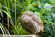 Red-legged French Partridge roosting with head tucked under wing, UK
