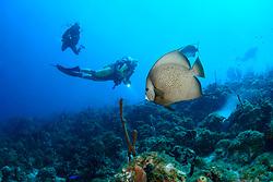 Pomacanthus arcuatus, Grauer oder Grossflossen Kaiserfisch und Taucher, Gray angelfish and scuba diver,  Insel Cooper, Britische Jungferninsel, Karibik, Karibisches Meer, Cooper Island, British Virgin Islands, BVI, Caribbean Sea