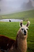 Llamas in the morning mist Brevard, NC in the Blue Ridge mountains of western North Carolina.
