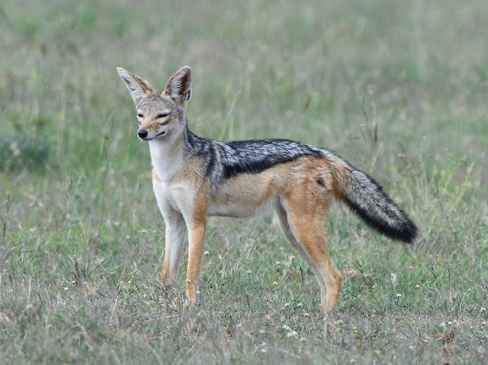 A male black-backed jackal (Canis mesomelas) pauses while loping through the dry grass of the Serengeti. Serengeti National Park, Tanzania.