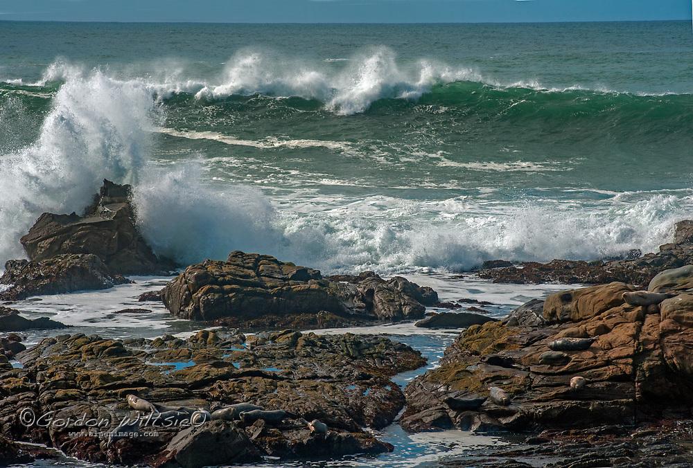 Waves crash ashore near harbor seals resting on rocks at Bean Hollow State Beach on the California coast near Pescadero, California.