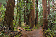 Hiker Zach Podell-Eberhardt strolls through the Cathedral Grove redwoods on a rainy day in Muir Woods National Monument, California.