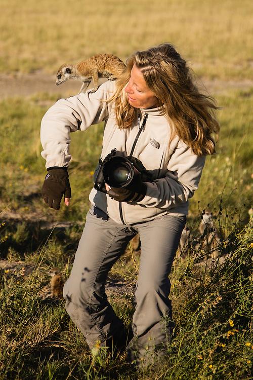 A meerkat (Suricata suricatta) climbing on a photographer in the Makgadikgadi Pan of the Kalahari, Botswana, Africa