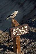 Clarks Nutcracker bird voices displeasure while on sign  warning not to feed the aninmals, Crater Lake National Park, OregonCrater Lake National Park, Oregon