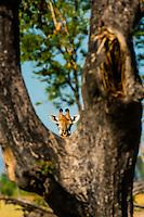Giraffe hiding behind a tree, near Kwara Camp, Okavango Delta, Botswana.