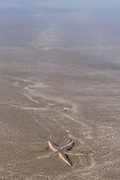A starfish on Kiawah Beachwalker Park on Kiawah Island, SC.