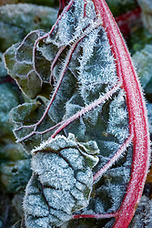 Hoar frost on ruby chard