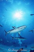 divers and Caribbean reef shark, Carcharhinus perezi, Walker's Cay, Abaco Islands, Bahamas ( Western Atlantic Ocean )