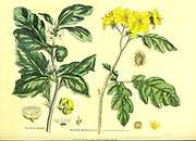 Solanum from Vol II of the book The universal herbal : or botanical, medical and agricultural dictionary : containing an account of all known plants in the world, arranged according to the Linnean system. Specifying the uses to which they are or may be applied By Thomas Green,  Published in 1816 by Nuttall, Fisher & Co. in Liverpool and Printed at the Caxton Press by H. Fisher