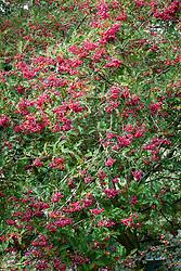 The berries of Sorbus vilmorinii - Rowan