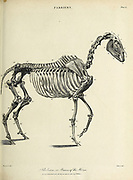 Skeleton or bones of a horse Copperplate engraving From the Encyclopaedia Londinensis or, Universal dictionary of arts, sciences, and literature; Volume VII;  Edited by Wilkes, John. Published in London in 1810