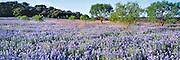 A dense field of bluebonnets, the Texas state flower, perfumes the morning air near Llano, Texas.
