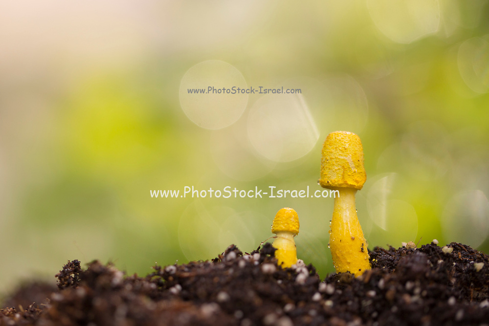 Yellow houseplant mushroom (Leucocoprinus birnbaumii) is a common mushroom in house plants and greenhouses or any other place with organically rich soil where the temperature is warm. Common in the south in warmer climates, where it can grow outdoors, especially in mulched flower beds. An invasive from Australia.