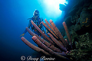 diver with purple tube sponges, Aplysina archeri, at Blue Wall, Curacao, Netherlands Antilles, ( Caribbean Sea ) MR 79