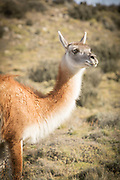 Portrait of Guanaco (Lama guanicoe) looking away, Torres del Paine National Park, Chile