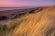 Native coastal grasses at sunset, Samoa Dunes, Humboldt County, California