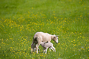 Lamb feeding from sheep in a meadow in The Cotswolds, Gloucestershire
