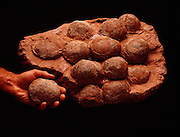 Therizinosaur nest from the Cretaceous in China about 110 - 65 million years ago.  They were related to T.rex but much smaller, about ten feet-long (3 meters).