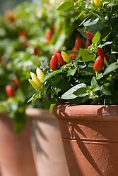 Chillies growing in terracotta pots