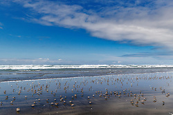 Beach and shorebirds, Fort Stevens State Park, Oregon, USA