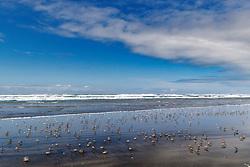 Beach and shorebirds, Fort Stevens State Park, Oregon, USA