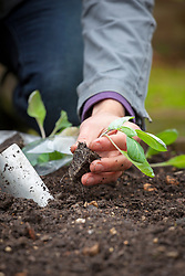 Planting out spring cabbage plug plants with a trowel