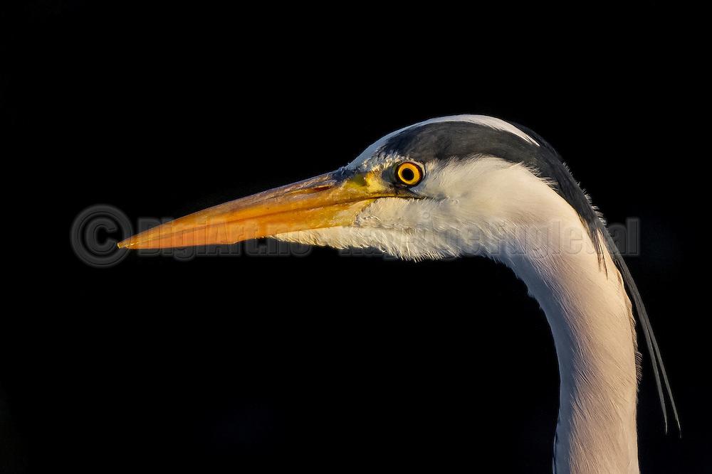 Portrait of Grey Heron | Portrett av Hegre