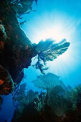 sea fan, Gorgonia sp., .Molasses Reef, Key Largo, Florida Keys .National Marine Sanctuary, Florida (Atlantic)