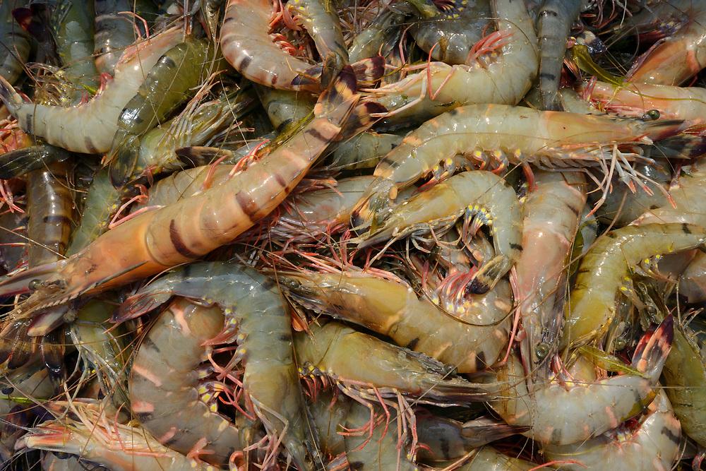 Shrimps and prawns, Pulicat Lake, Tamil Nadu, India