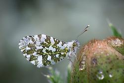 Female orange-tip butterfly on Papaver orientale bud. Anthocharis cardamines