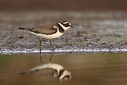 Little Ringed Plover (Charadrius dubius) wading in a pool. Photographed in Israel, in September
