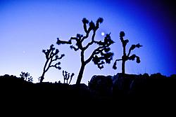 Joshua Trees Early Morning With Moon