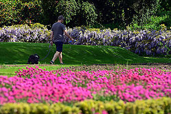 © Licensed to London News Pictures. 02/06/2013. London, UK A man walks his dog in the flowerbeds. People enjoy the sunshine in the grounds of Chiswick house, West London, today 2nd June 2013. Photo credit : Stephen Simpson/LNP