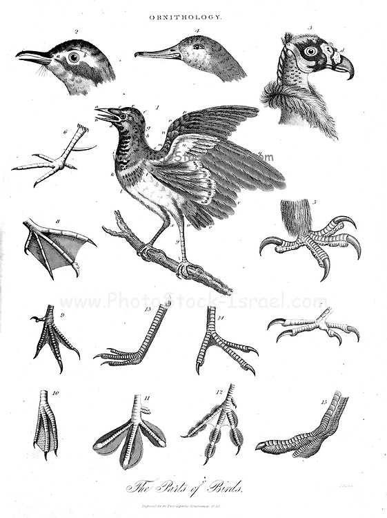 Ornithology The branch of zoology that studies birds Copperplate engraving From the Encyclopaedia Londinensis or, Universal dictionary of arts, sciences, and literature; Volume XVII;  Edited by Wilkes, John. Published in London in 1820