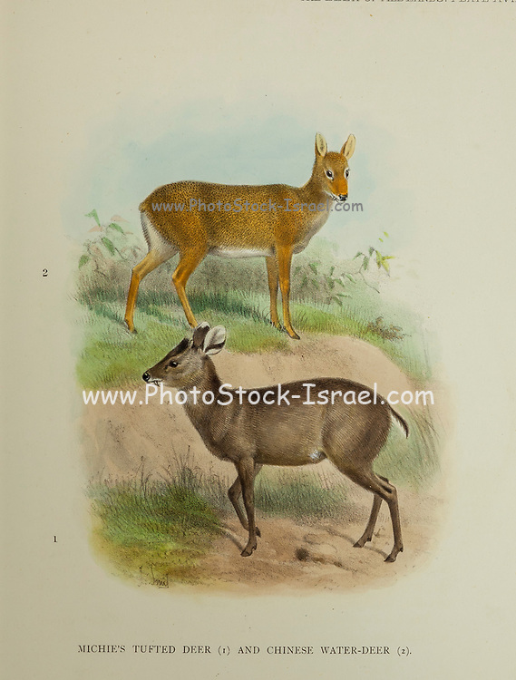 Michie's Tufted Deer (Elaphodus cephalophus michianus) [bottom] and Chinese water-deer (Hydropotes inermis inermis) [Top] from the book ' The deer of all lands : a history of the family Cervidae, living and extinct ' by Richard Lydekker, Published in London by Ward 1898