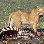 African Lion, (Panthera leo) Adult lioness feeding on zebra. Masai Mara Game Reserve. Kenya. Africa.